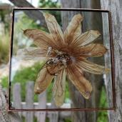 silverwhitepassionflower.1